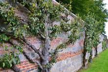 Obstbaum Mauer